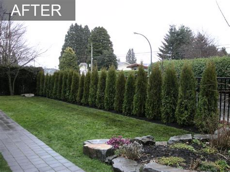 sound barrier shrubs cedar hedge white rock bc privacy hedge reduces street noise