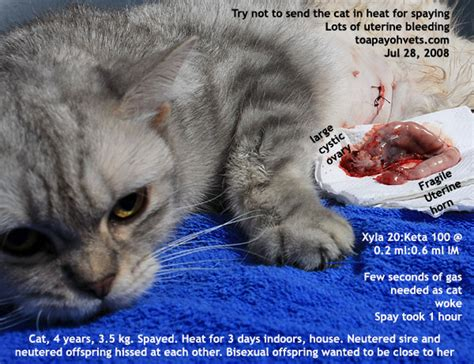 how is a cat in heat 0829asingapore veterinary hamster chest abscess education stories published by asiahomes com