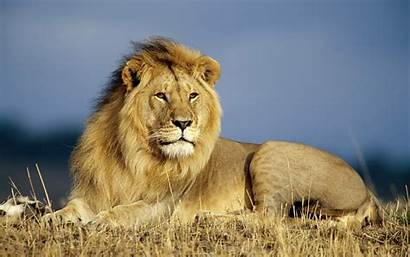 Lion Wallpapers Desktop Backgrounds Widescreen Letest Animals