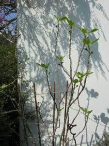 Planter Un Figuier : figue et figuier planter un figuier jardinage bio ~ Melissatoandfro.com Idées de Décoration