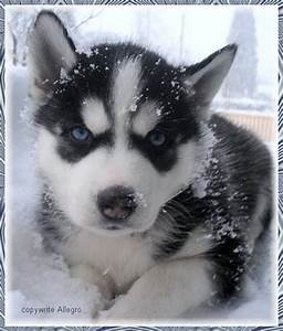 Cute Husky Puppy In The Snow - FaveThing.com