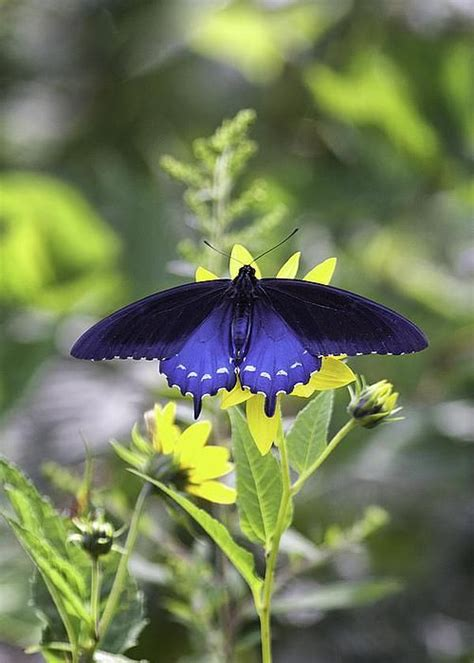 butterfly species images  pinterest