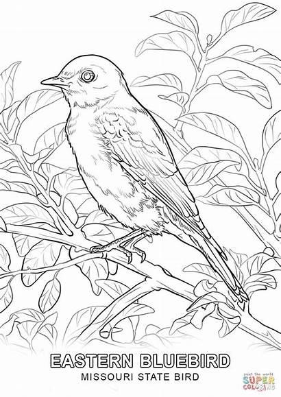 Coloring Bird State York Bluebird Eastern Birds