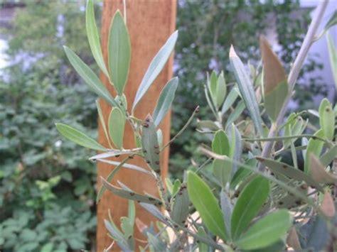 schaedlinge  olivenbaum pflanzenkrankheiten