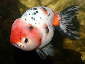 Ranchu Goldfish, Carassius auratus, Fancy goldfish ...