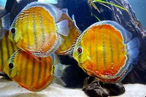 1000+ images about Discus on Pinterest | Discus Fish ...