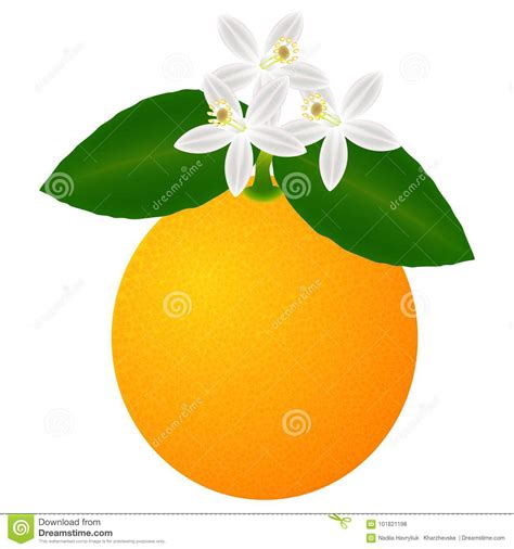 Orange Fruit With Leaves Blossom Isolated White
