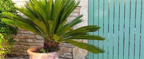 palmier en pot interieur palmier en pot culture en ext 233 rieur ou en int 233 rieur