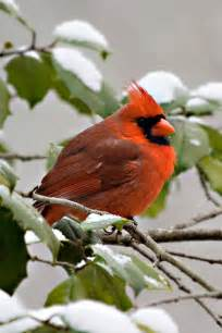 Red Cardinal Bird Snow