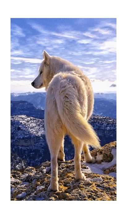 Wolf Lupus Animals Spirit Amazing Animal