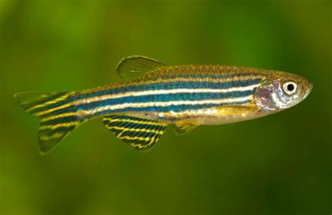 beautiful freshwater tropical fish pictures