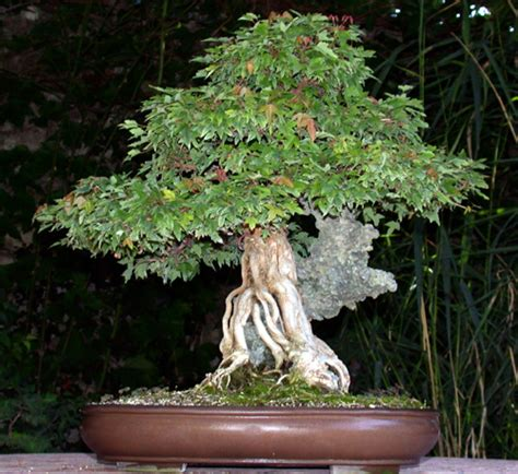erable du japon en pot interieur comment choisir un bonsai d int 233 rieur ou d ext 233 rieur bonsai entretien