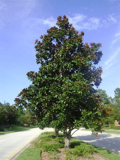 magnoloa tree buy magnolia trees for sale in orlando kissimmee