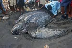 Largest World Biggest Turtle