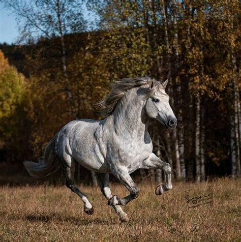 horse andalusian drawings horses uploaded