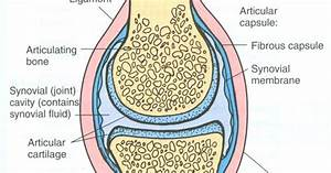 Diagram Of A Synovial Joint