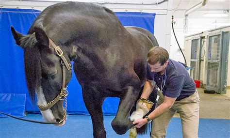 veterinarian farrier work equine lameness veterinary