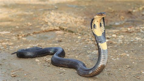 Deadly king cobra snake on the loose after escaping home ...