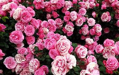 Rose Bush Pink Flower Wallpapers Extract Flowers