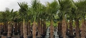 Palmen Für Den Garten : palmen verkauf hannover gro e auswahl an winterharten palmen ~ Sanjose-hotels-ca.com Haus und Dekorationen