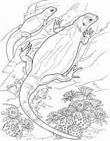 Lizard Coloring Pages Lizards Pair Animals sketch template