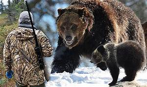 Yellowstone park hunting return: Grizzly bears to be ...  Grizzly