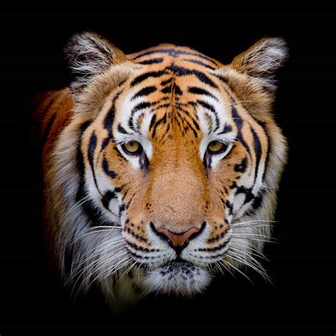 Images Of Faces Royalty Free Tiger Pictures Images And Stock Photos