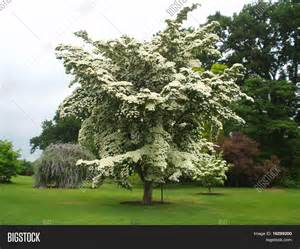 flowers of the month cornus kousa chinensis flower rhs image photo bigstock