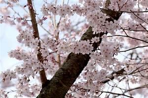 Fleur De Cerisier Signification : fleur de ceriser signification des fleurs ~ Melissatoandfro.com Idées de Décoration