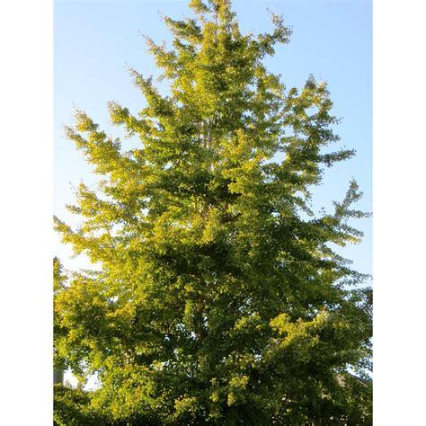 ginkgo biloba varieties ginkgo biloba trees plant type boething treeland farms