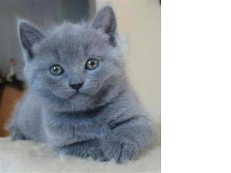 ist das eine kartaeuser katze katzenrasse