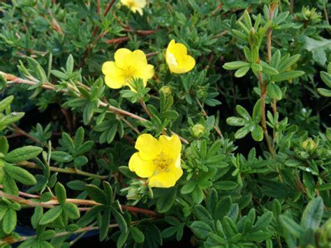 Potentilla Primrose Beauty (2L Pot) - Beardsworths Nurseries
