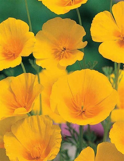 California Poppy Seeds   GreenMyLife   Anyone can Garden
