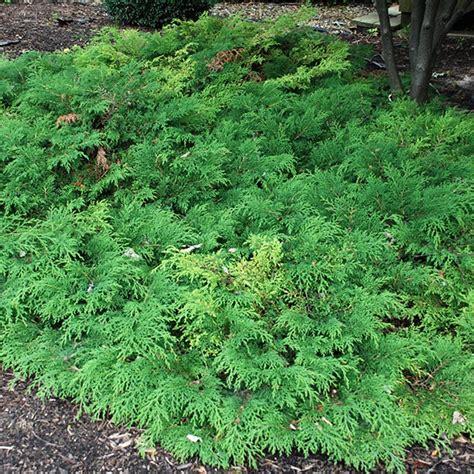 evergreen ground cover microbiota decussata siberian cypress evergreen groundcover