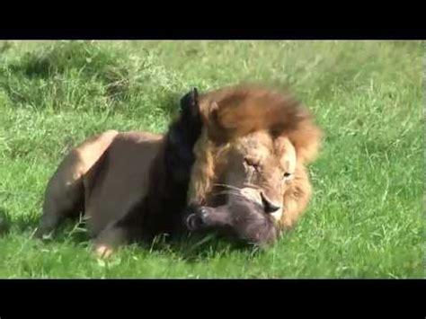 leao ataca  devora filhote de bufalo cena impressionante