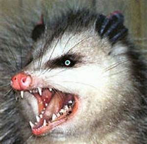 Image Gallery evil possum