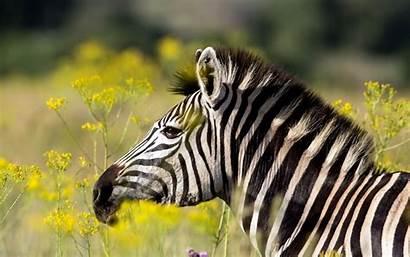 Zebra Rare Theme Cool Wallpapers Nature Summer
