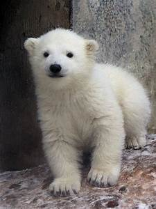 Polar Bear Cub Enjoys His First Day in the Snow – Picture ...