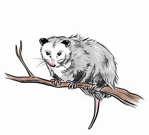 The Gallery For U0026gt Opossum Clipart