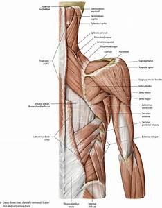 Shoulder  U0026 Arm