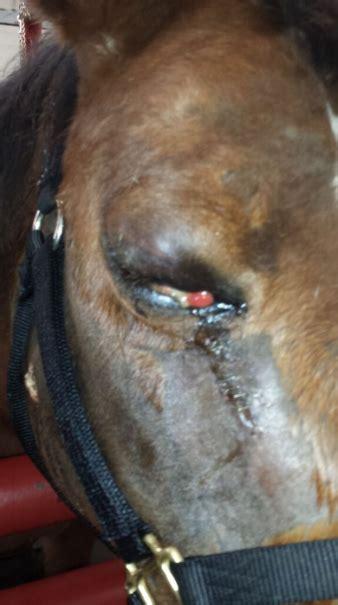 eye  draining discharge horse side vet guide