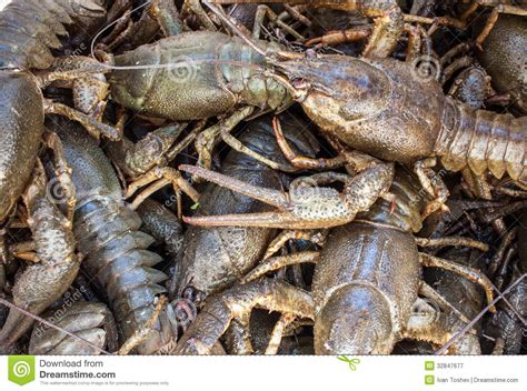 river crabs royalty  stock photography image