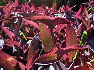 Pflanze Lila Blätter : lila herz bl tter kostenloses stock bild public domain pictures ~ Eleganceandgraceweddings.com Haus und Dekorationen