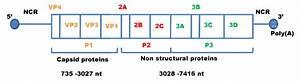 Genomic Structure Of Hepatitis A Virus  Hav Genome Is
