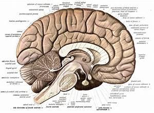 Neuroanatomy - Wikipedia