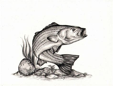 Fish Drawing Striped Bass Art