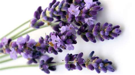 fiore di lavanda fiori in cucina quali fiori si possono mangiare cuciniamo