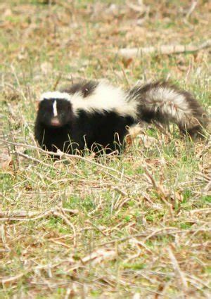 get rid of skunk smell how to get rid of skunk smell bob vila