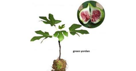 jual bibit pohon tin green yordan