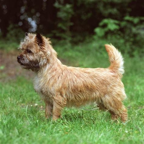cairn terrier wds